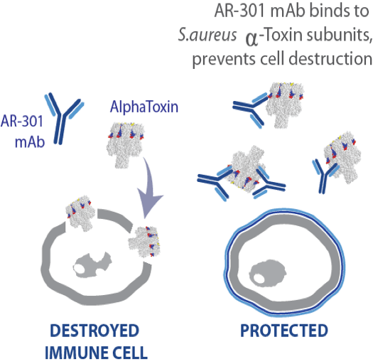AR-301-Mechanism-of-Action
